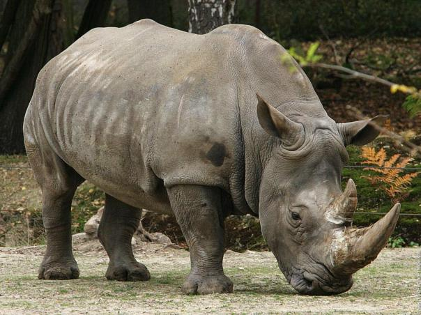 south-africa-white-rhinoceros-wallpaper-1600x1200